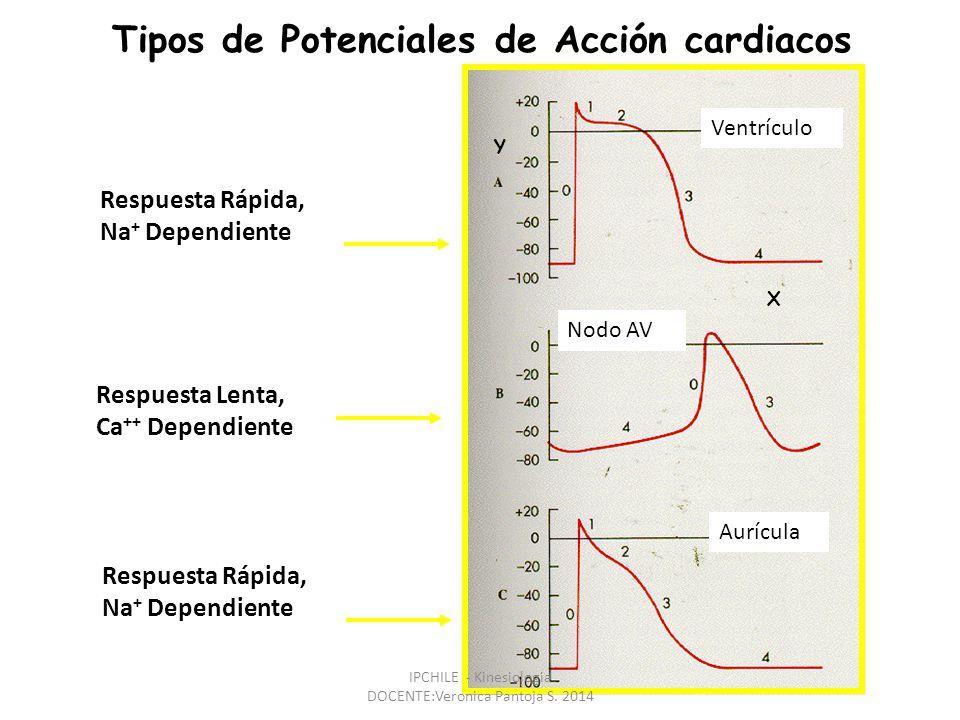 Respuesta Rápida, Na + Dependiente Respuesta Lenta, Ca ++ Dependiente Tipos de Potenciales de Acción cardiacos Respuesta Rápida, Na + Dependiente Ventrículo Nodo AV Aurícula Y X IPCHILE - Kinesiologia DOCENTE:Veronica Pantoja S.