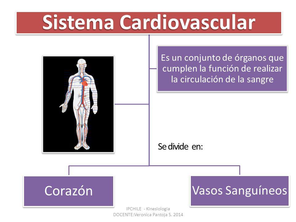 Sistema Cardiovascular Corazón Vasos Sanguíneos Es un conjunto de órganos que cumplen la función de realizar la circulación de la sangre Se divide en: IPCHILE - Kinesiologia DOCENTE:Veronica Pantoja S.