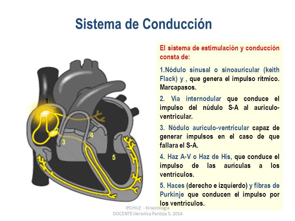Sistema de Conducción El sistema de estimulación y conducción consta de: 1.Nódulo sinusal o sinoauricular (keith Flack) y, que genera el impulso rítmico.