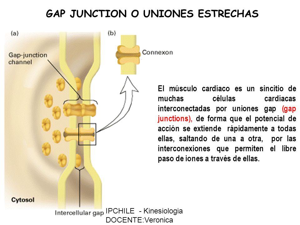 GAP JUNCTION O UNIONES ESTRECHAS El músculo cardíaco es un sincitio de muchas células cardíacas interconectadas por uniones gap (gap junctions), de forma que el potencial de acción se extiende rápidamente a todas ellas, saltando de una a otra, por las interconexiones que permiten el libre paso de iones a través de ellas.