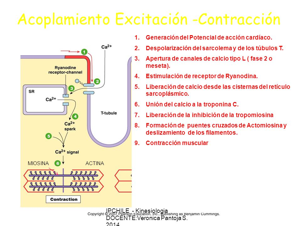 Acoplamiento Excitación -Contracción 1.Generación del Potencial de acción cardíaco.
