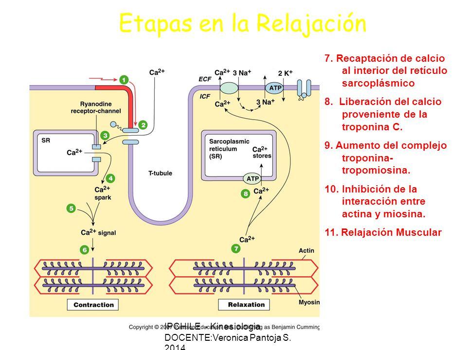 Etapas en la Relajación 7.Recaptación de calcio al interior del retículo sarcoplásmico 8.