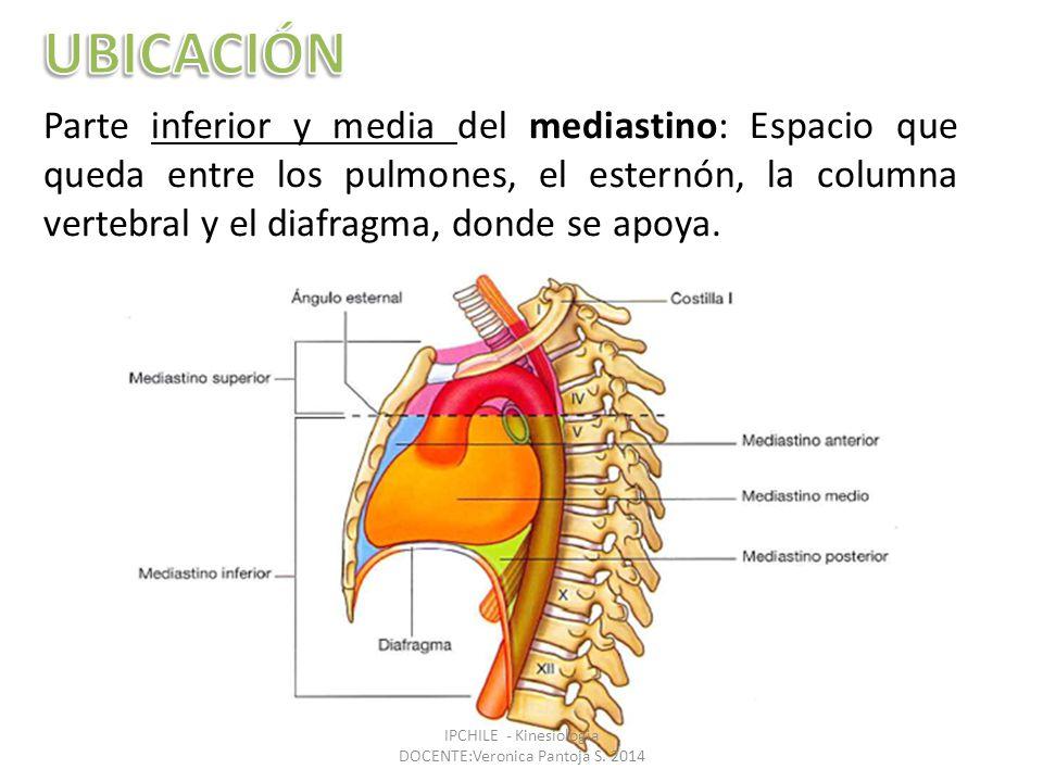 Parte inferior y media del mediastino: Espacio que queda entre los pulmones, el esternón, la columna vertebral y el diafragma, donde se apoya.