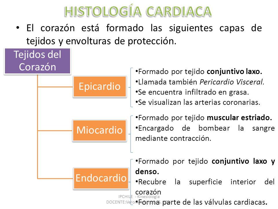 El corazón está formado las siguientes capas de tejidos y envolturas de protección.