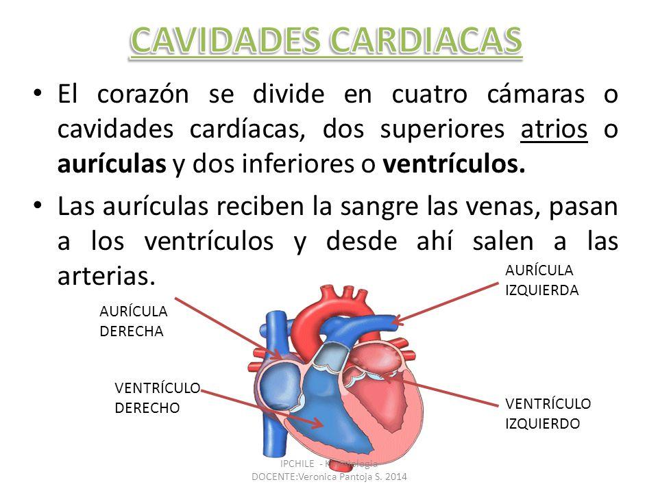El corazón se divide en cuatro cámaras o cavidades cardíacas, dos superiores atrios o aurículas y dos inferiores o ventrículos.