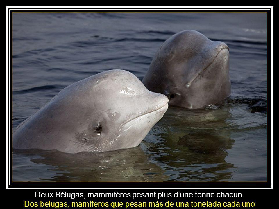 Natalia Avseenko fait connaissance avec les Bélugas. Natalia se familiariza con las belugas