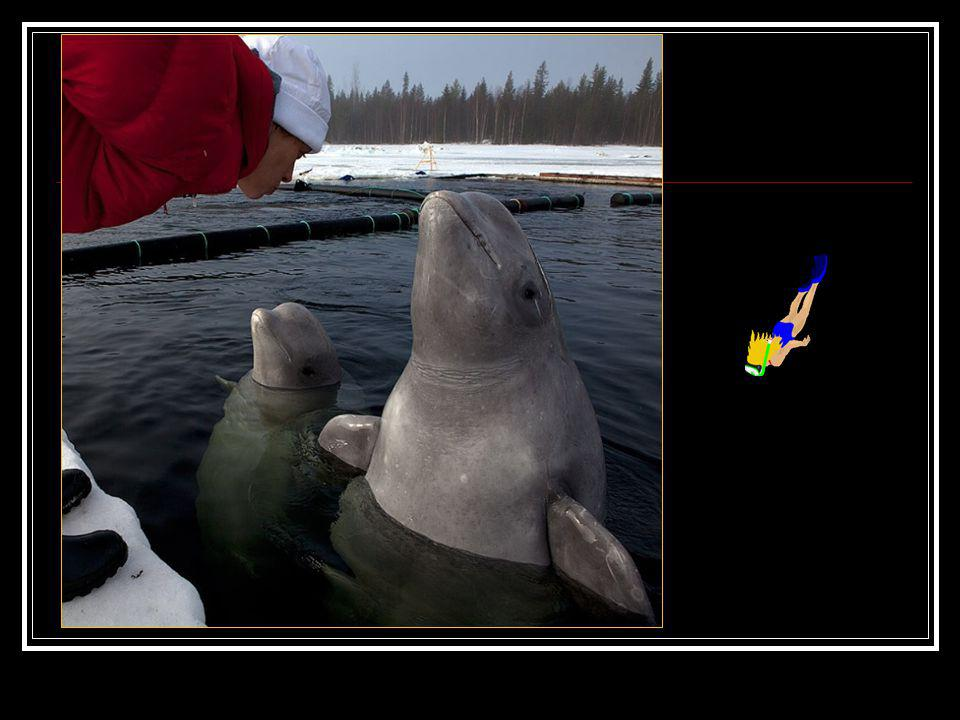 Deux Bélugas, mammifères pesant plus dune tonne chacun. Dos belugas, mamíferos que pesan más de una tonelada cada uno