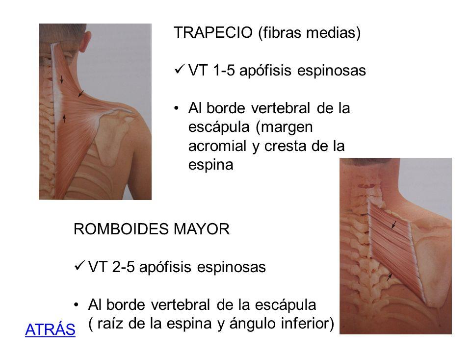 TRAPECIO (fibras medias) VT 1-5 apófisis espinosas Al borde vertebral de la escápula (margen acromial y cresta de la espina ROMBOIDES MAYOR VT 2-5 apó