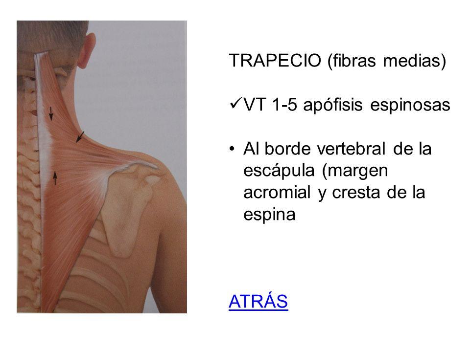 TRAPECIO (fibras medias) VT 1-5 apófisis espinosas Al borde vertebral de la escápula (margen acromial y cresta de la espina ATRÁS