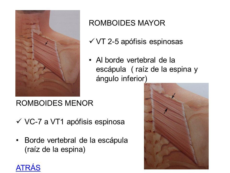 ROMBOIDES MAYOR VT 2-5 apófisis espinosas Al borde vertebral de la escápula ( raíz de la espina y ángulo inferior) ROMBOIDES MENOR VC-7 a VT1 apófisis