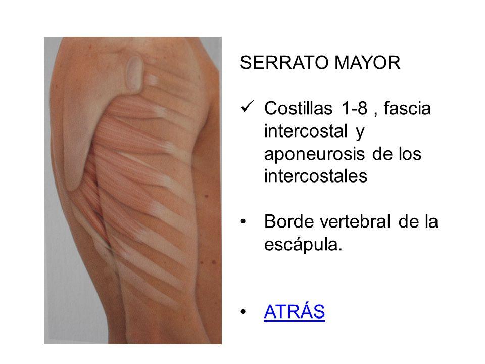 SERRATO MAYOR Costillas 1-8, fascia intercostal y aponeurosis de los intercostales Borde vertebral de la escápula. ATRÁS