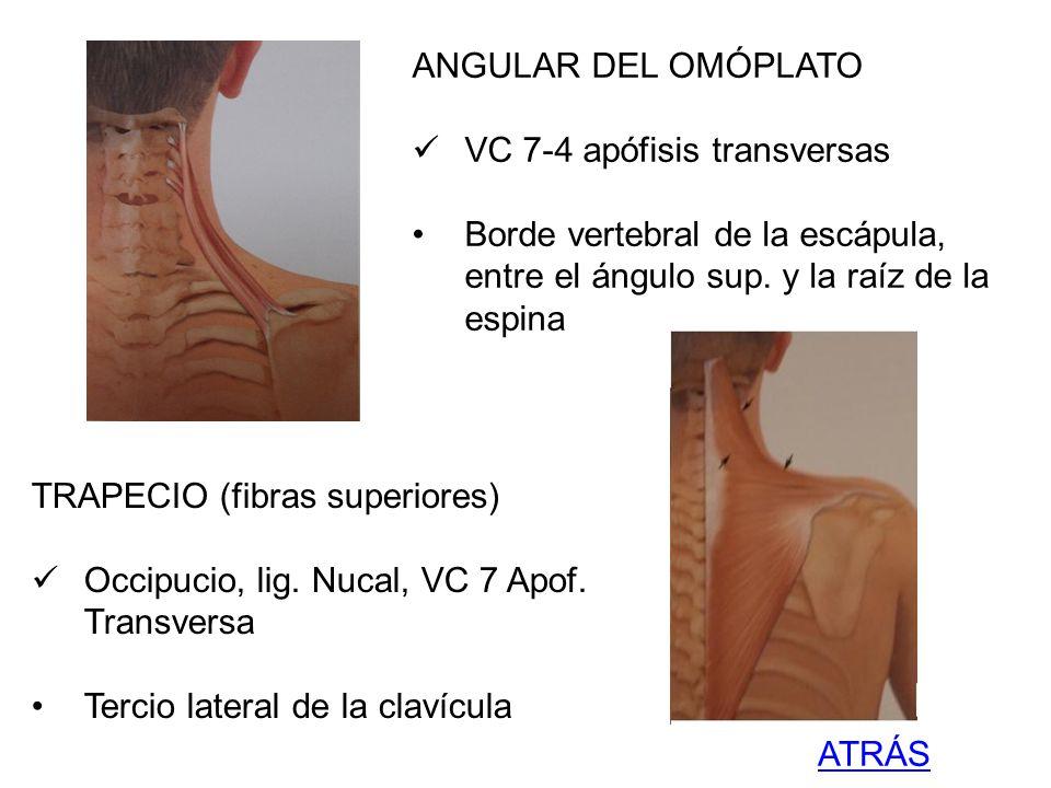 ANGULAR DEL OMÓPLATO VC 7-4 apófisis transversas Borde vertebral de la escápula, entre el ángulo sup. y la raíz de la espina TRAPECIO (fibras superior