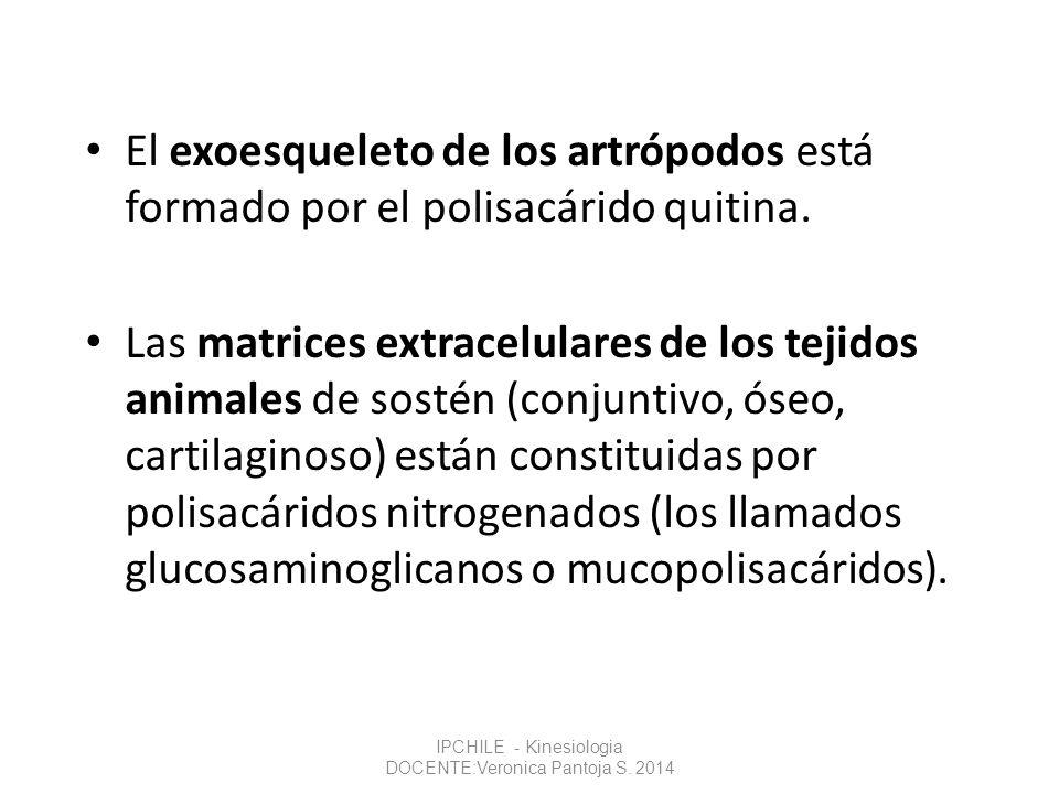 El exoesqueleto de los artrópodos está formado por el polisacárido quitina. Las matrices extracelulares de los tejidos animales de sostén (conjuntivo,