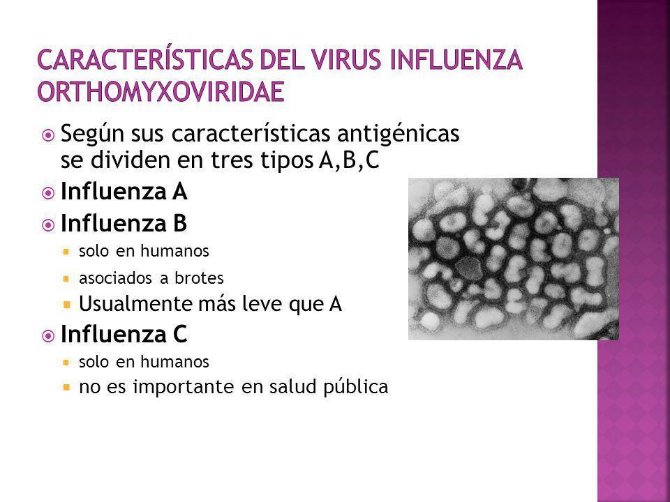 Según sus características antigénicas se dividen en tres tipos A,B,C Influenza A Influenza B solo en humanos asociados a brotes Usualmente más leve qu