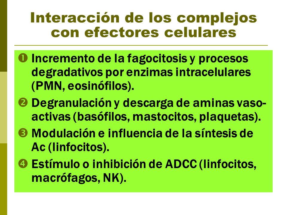Interacción de los complejos con efectores celulares Incremento de la fagocitosis y procesos degradativos por enzimas intracelulares (PMN, eosinófilos