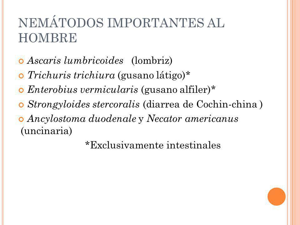 NEMÁTODOS IMPORTANTES AL HOMBRE Ascaris lumbricoides (lombriz) Trichuris trichiura (gusano látigo)* Enterobius vermicularis (gusano alfiler)* Strongyl