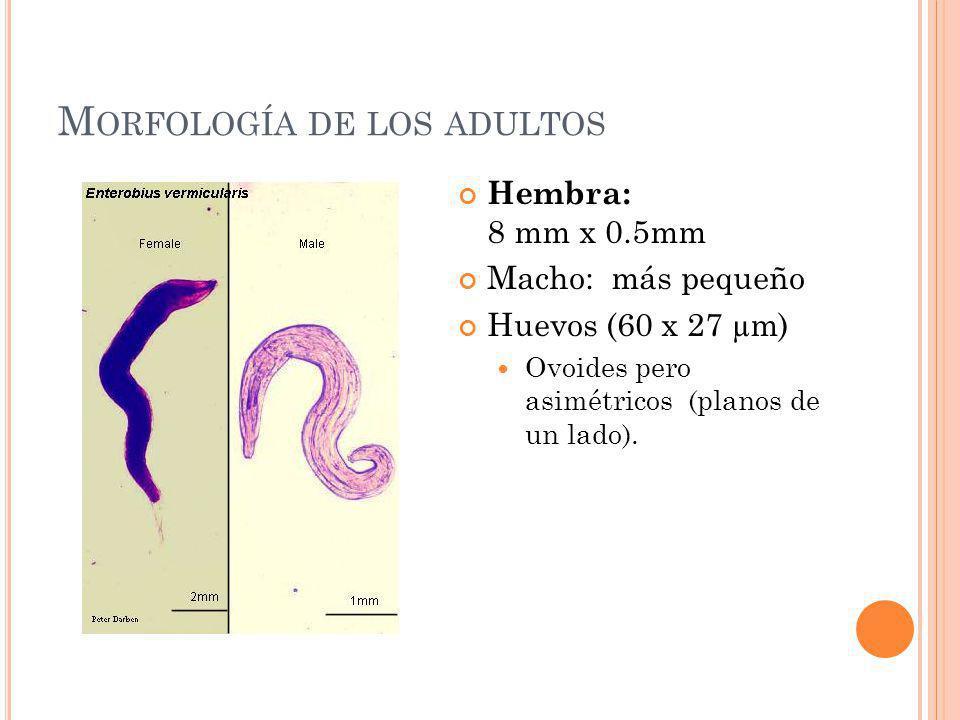M ORFOLOGÍA DE LOS ADULTOS Hembra: 8 mm x 0.5mm Macho: más pequeño Huevos (60 x 27 µm) Ovoides pero asimétricos (planos de un lado).