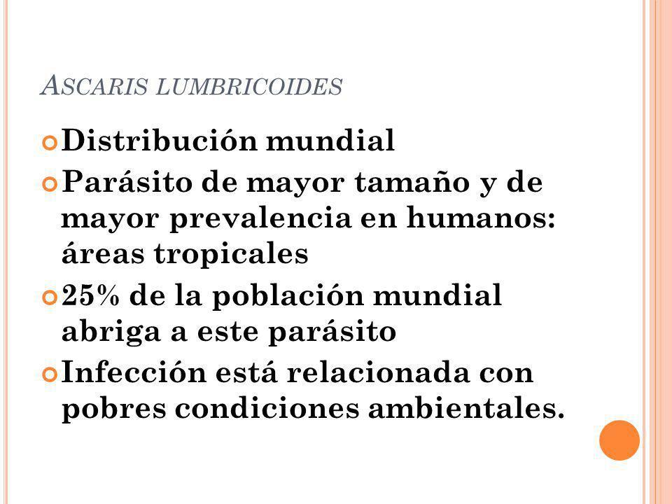 A SCARIS LUMBRICOIDES Distribución mundial Parásito de mayor tamaño y de mayor prevalencia en humanos: áreas tropicales 25% de la población mundial ab