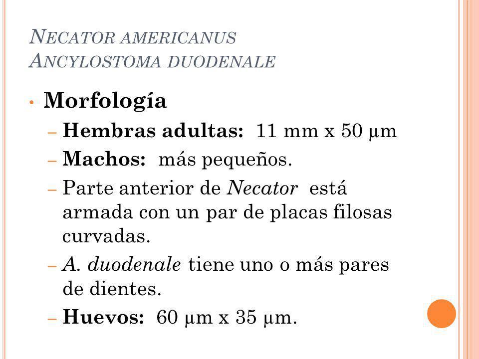 N ECATOR AMERICANUS A NCYLOSTOMA DUODENALE Morfología – Hembras adultas: 11 mm x 50 µm – Machos: más pequeños. – Parte anterior de Necator está armada