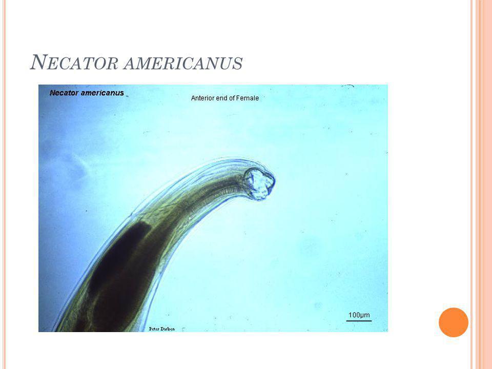 N ECATOR AMERICANUS