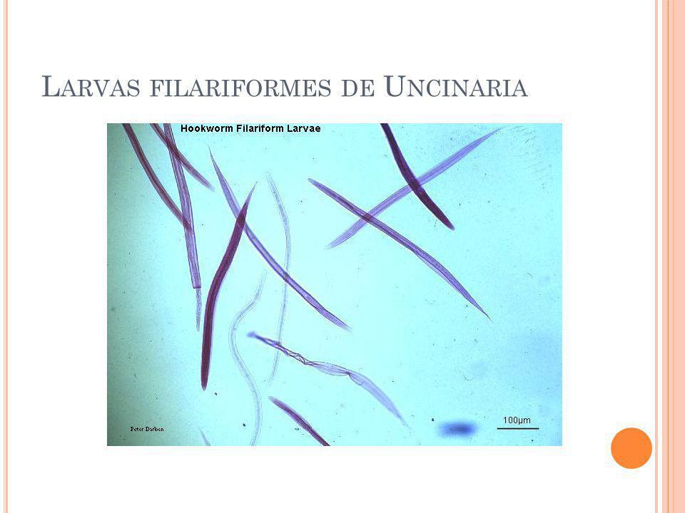 L ARVAS FILARIFORMES DE U NCINARIA