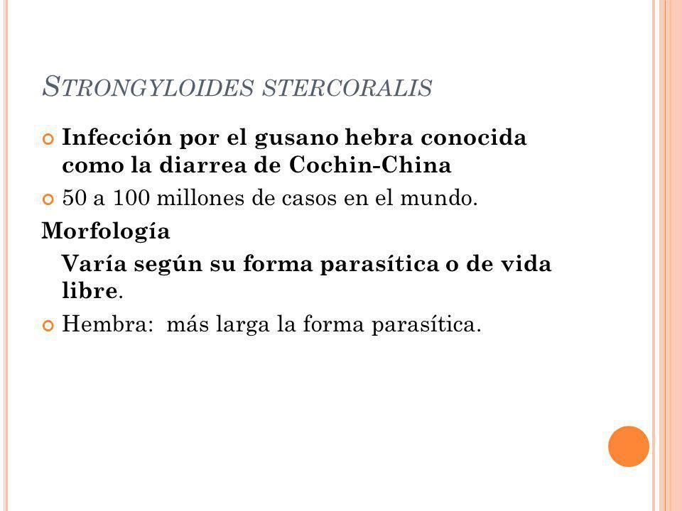 S TRONGYLOIDES STERCORALIS Infección por el gusano hebra conocida como la diarrea de Cochin-China 50 a 100 millones de casos en el mundo. Morfología V