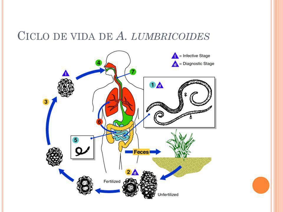 S ÍNTOMAS Según la carga parasitaria: menos de 10 gusanos son asintomáticos.