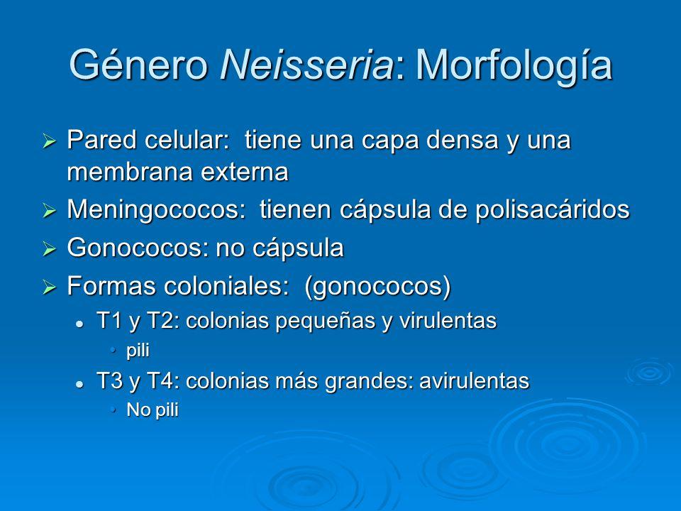 Género Neisseria: Morfología Pared celular: tiene una capa densa y una membrana externa Pared celular: tiene una capa densa y una membrana externa Men