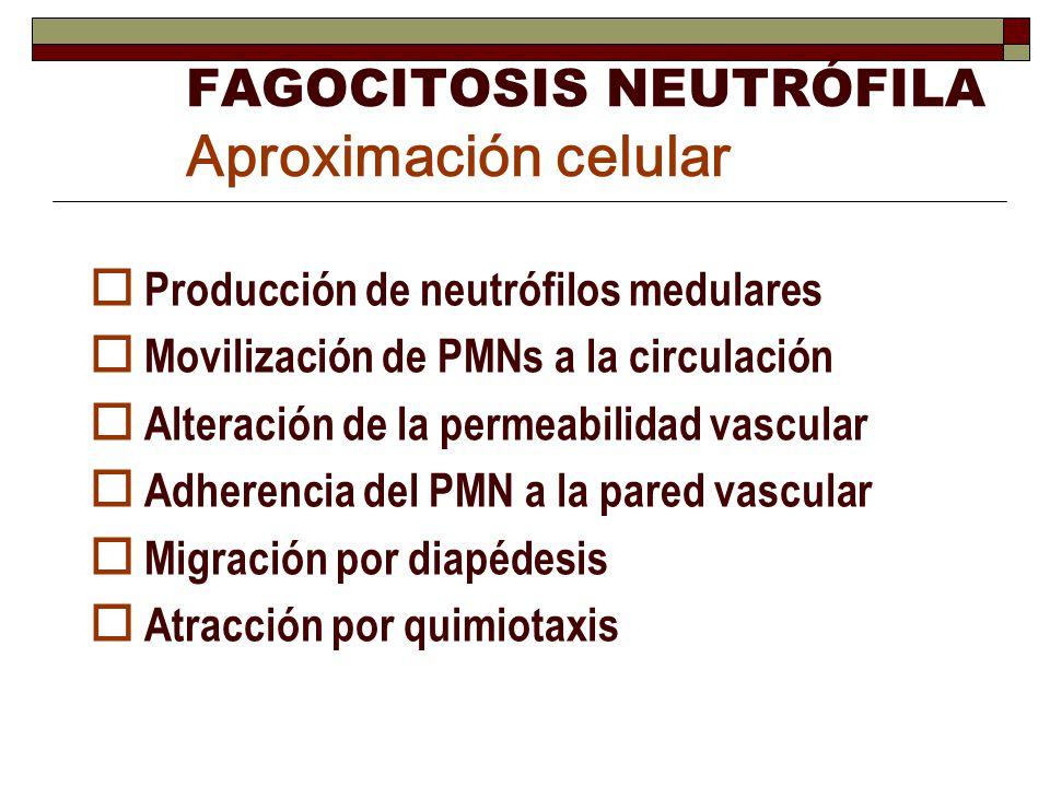 FAGOCITOSIS NEUTRÓFILA Aproximación celular Producción de neutrófilos medulares Movilización de PMNs a la circulación Alteración de la permeabilidad v