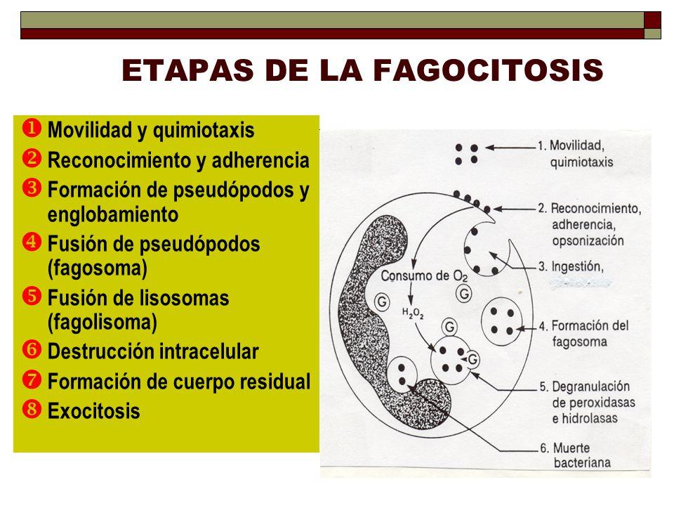 ETAPAS DE LA FAGOCITOSIS Movilidad y quimiotaxis Reconocimiento y adherencia Formación de pseudópodos y englobamiento Fusión de pseudópodos (fagosoma)