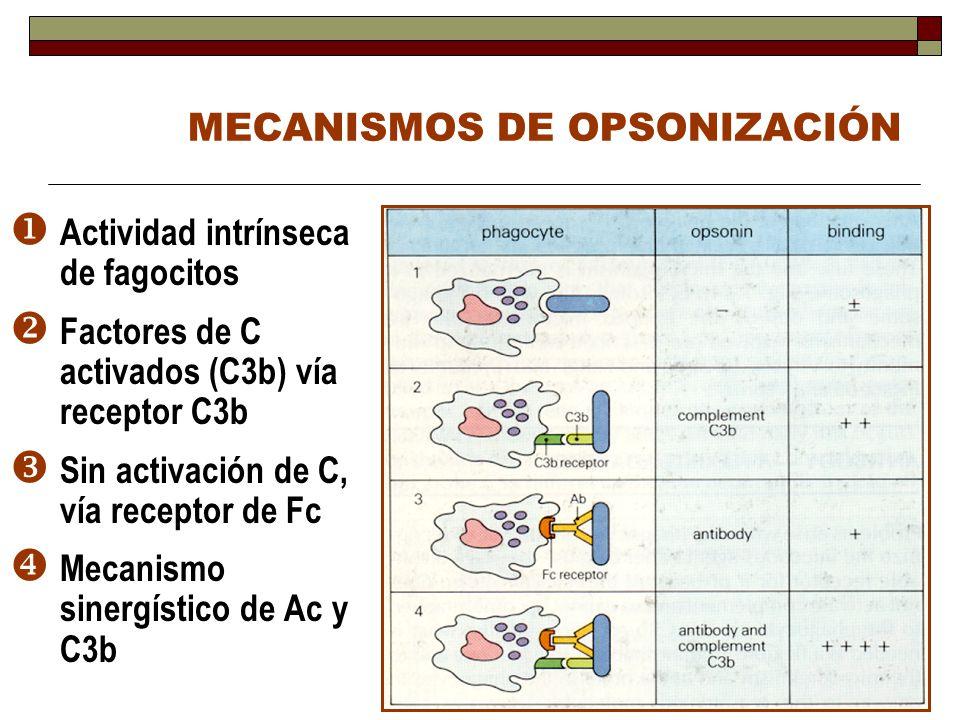 MECANISMOS DE OPSONIZACIÓN Actividad intrínseca de fagocitos Factores de C activados (C3b) vía receptor C3b Sin activación de C, vía receptor de Fc Me