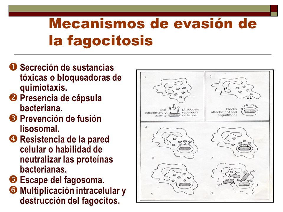 Mecanismos de evasión de la fagocitosis Secreción de sustancias tóxicas o bloqueadoras de quimiotaxis. Presencia de cápsula bacteriana. Prevención de