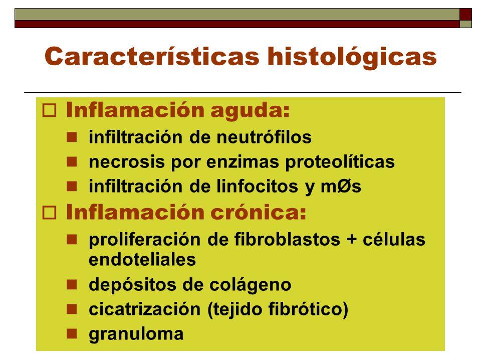 Características histológicas Inflamación aguda: infiltración de neutrófilos necrosis por enzimas proteolíticas infiltración de linfocitos y mØs Inflam