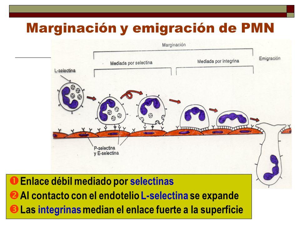 Marginación y emigración de PMN Enlace débil mediado por selectinas Al contacto con el endotelio L-selectina se expande Las integrinas median el enlac