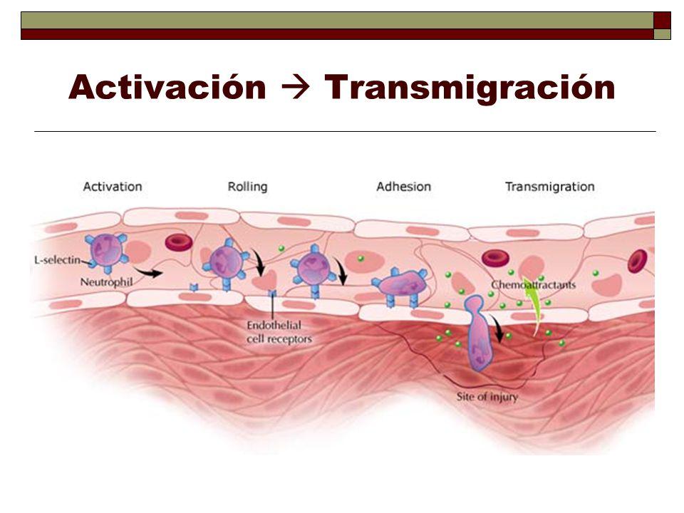 Términos usados para describir manifestaciones de inflamación Hiperemia: aumento de sangre en tejido.