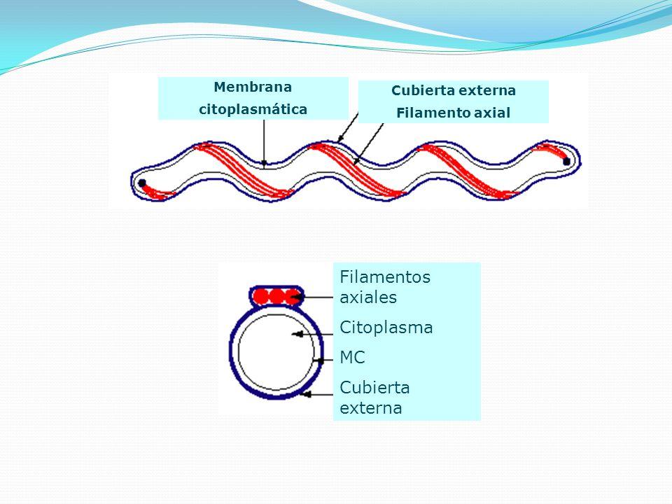 Membrana citoplasmática Cubierta externa Filamento axial Filamentos axiales Citoplasma MC Cubierta externa