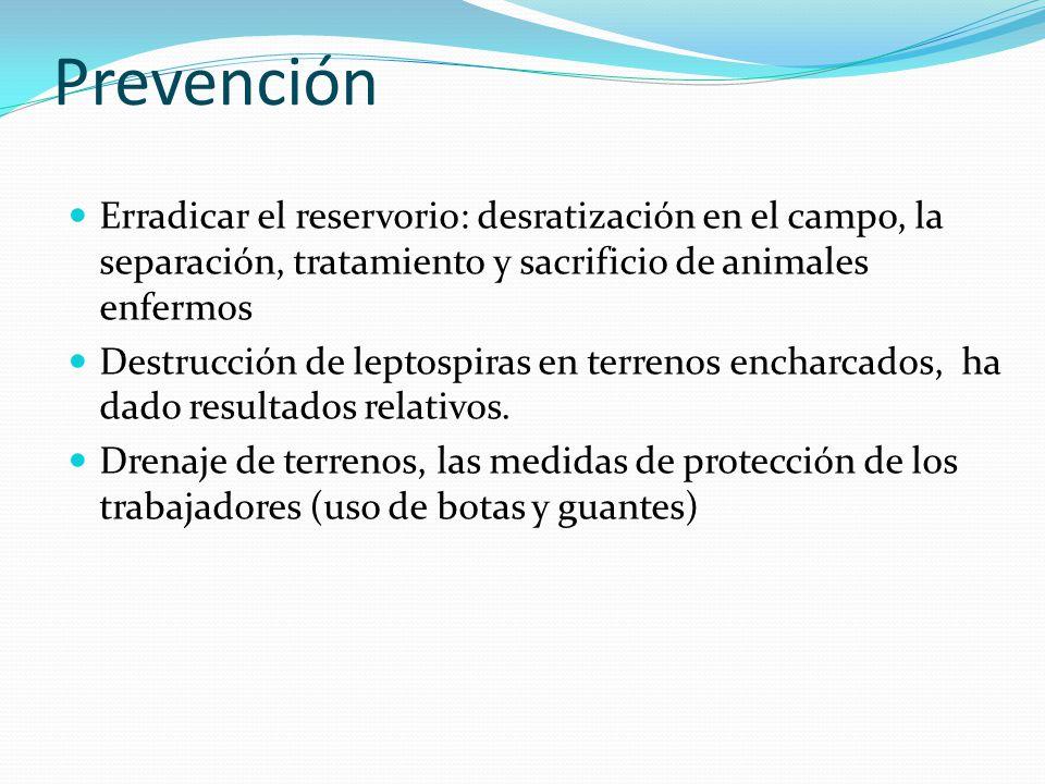 Prevención Erradicar el reservorio: desratización en el campo, la separación, tratamiento y sacrificio de animales enfermos Destrucción de leptospiras en terrenos encharcados, ha dado resultados relativos.