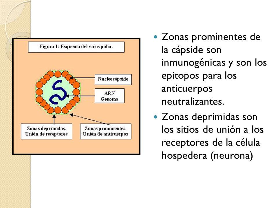Zonas prominentes de la cápside son inmunogénicas y son los epitopos para los anticuerpos neutralizantes. Zonas deprimidas son los sitios de unión a l