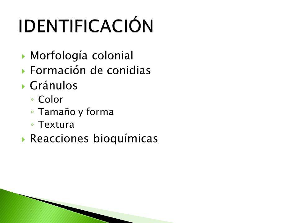 Morfología colonial Formación de conidias Gránulos Color Tamaño y forma Textura Reacciones bioquímicas