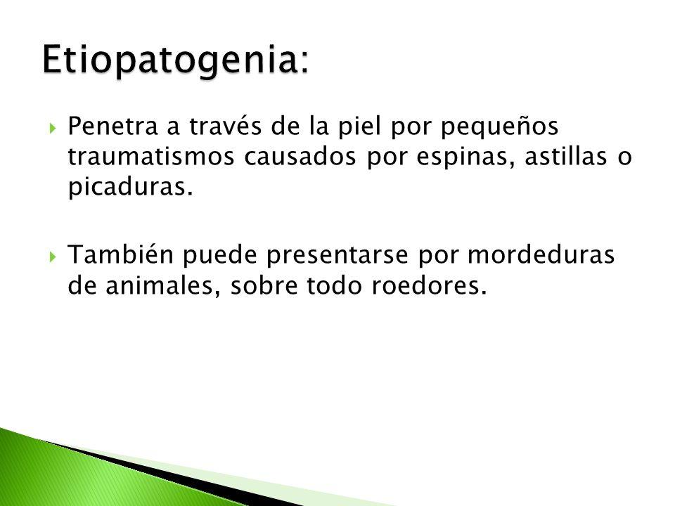 Lesión verrucosa Esporotricosis linfangítica