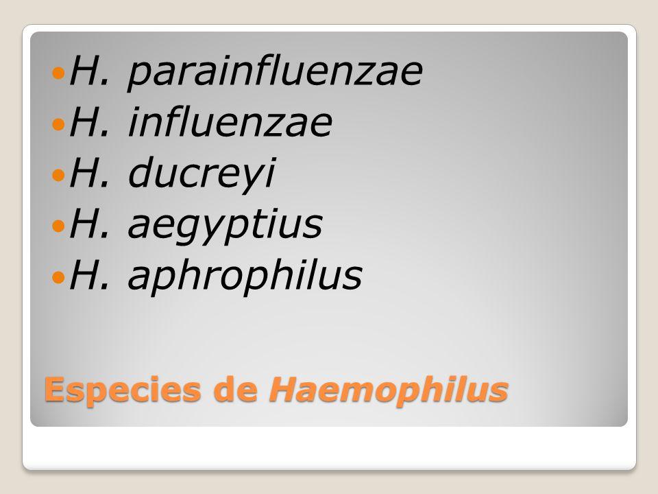Especies de Haemophilus H. parainfluenzae H. influenzae H. ducreyi H. aegyptius H. aphrophilus