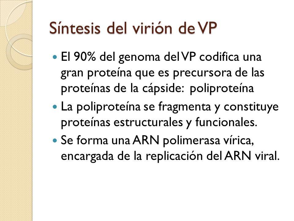Síntesis del virión de VP El 90% del genoma del VP codifica una gran proteína que es precursora de las proteínas de la cápside: poliproteína La poliproteína se fragmenta y constituye proteínas estructurales y funcionales.