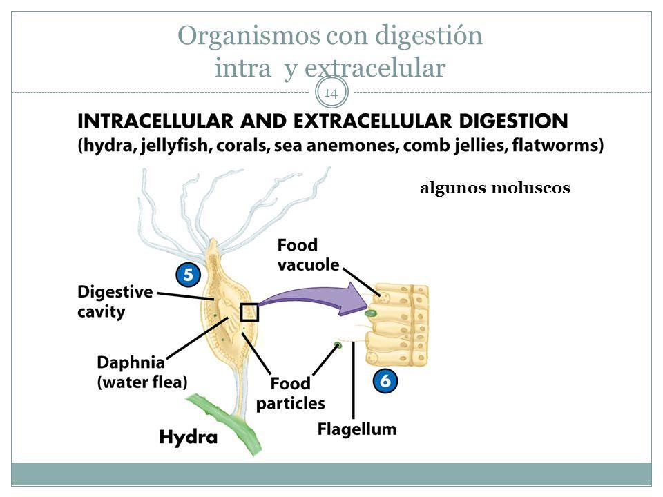 14 Organismos con digestión intra y extracelular algunos moluscos