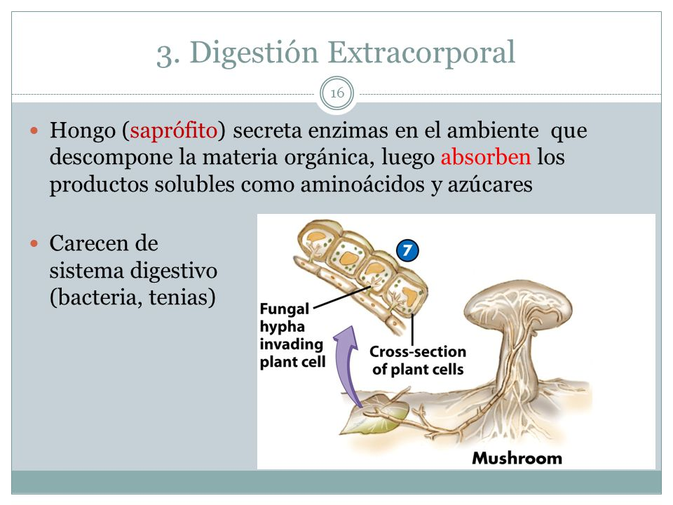 3. Digestión Extracorporal 16 Hongo (saprófito) secreta enzimas en el ambiente que descompone la materia orgánica, luego absorben los productos solubl