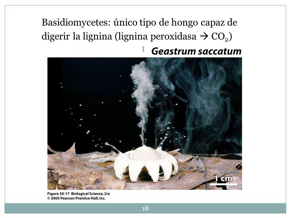 18 Basidiomycetes: único tipo de hongo capaz de digerir la lignina (lignina peroxidasa CO 2 )