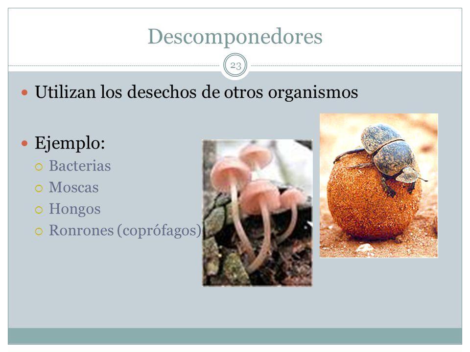 Descomponedores 23 Utilizan los desechos de otros organismos Ejemplo: Bacterias Moscas Hongos Ronrones (coprófagos)