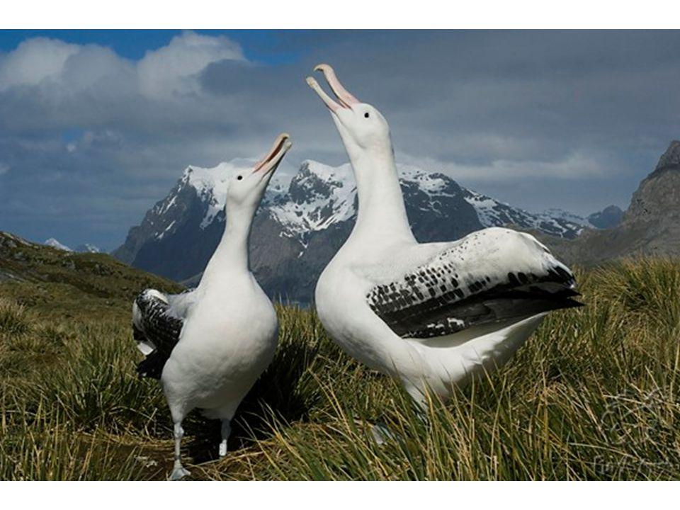 Son voladores excepcionales y utilizan los vientos para recorrer grandes distancias sin esfuerzos. En 2004, un estudio biológico demostró que uno de e