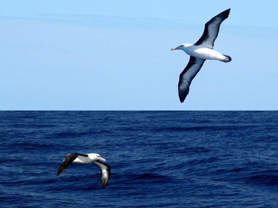 Por distraerse, a veces, suelen los marineros dar caza a los albatros, grandes aves del mar que siguen, indolentes compañeros de viaje, Al navío surcando los amargos abismo.