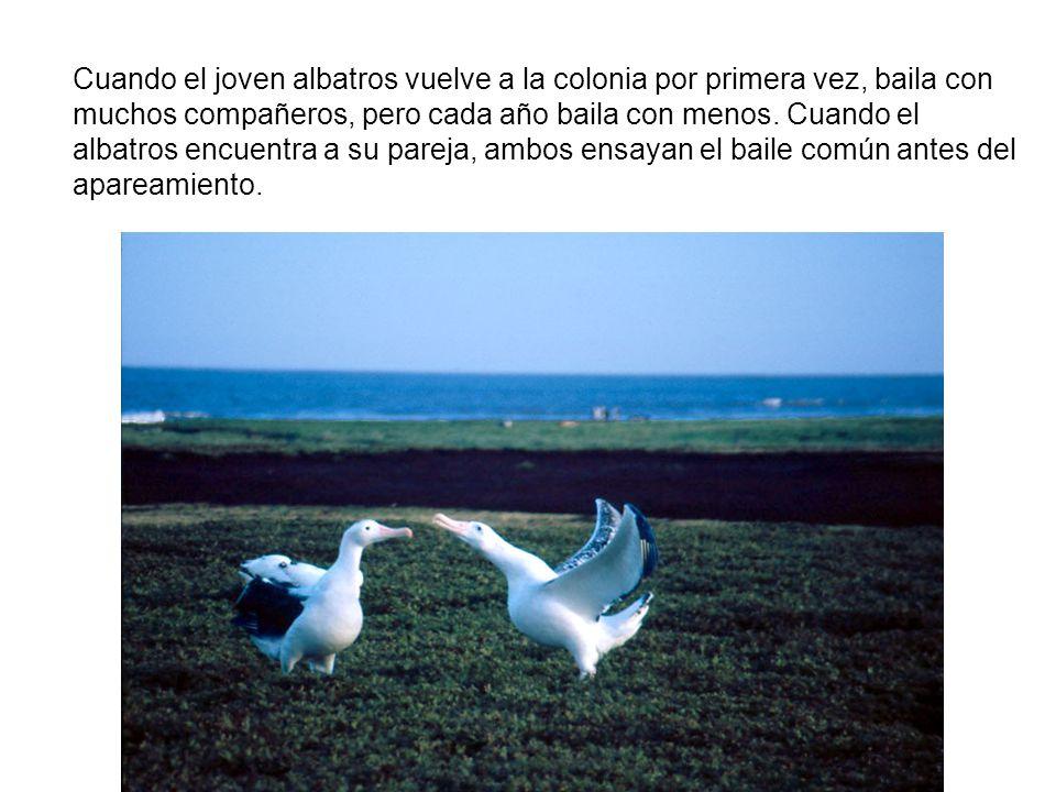 EL LENGUAJE DE LOS ALBATROS Su lenguaje es un baile de apareamiento en el que los albatros más jóvenes aprenden de los más viejos. Ponen mucho interés