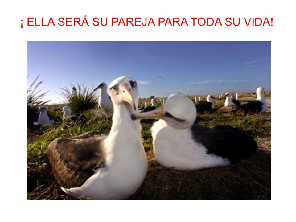 Cuando el joven albatros vuelve a la colonia por primera vez, baila con muchos compañeros, pero cada año baila con menos. Cuando el albatros encuentra